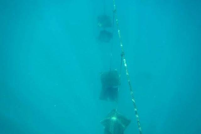 Trai đến tuổi trưởng thành sẽ được cấy nhân cho vào những chiếc lồng và thả xuống biển ở một độ sâu nhất định.