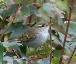 TWO BARRED WARBLER-ST ALDHELM'S HEAD-DORSET-18TH OCTOBER 2017