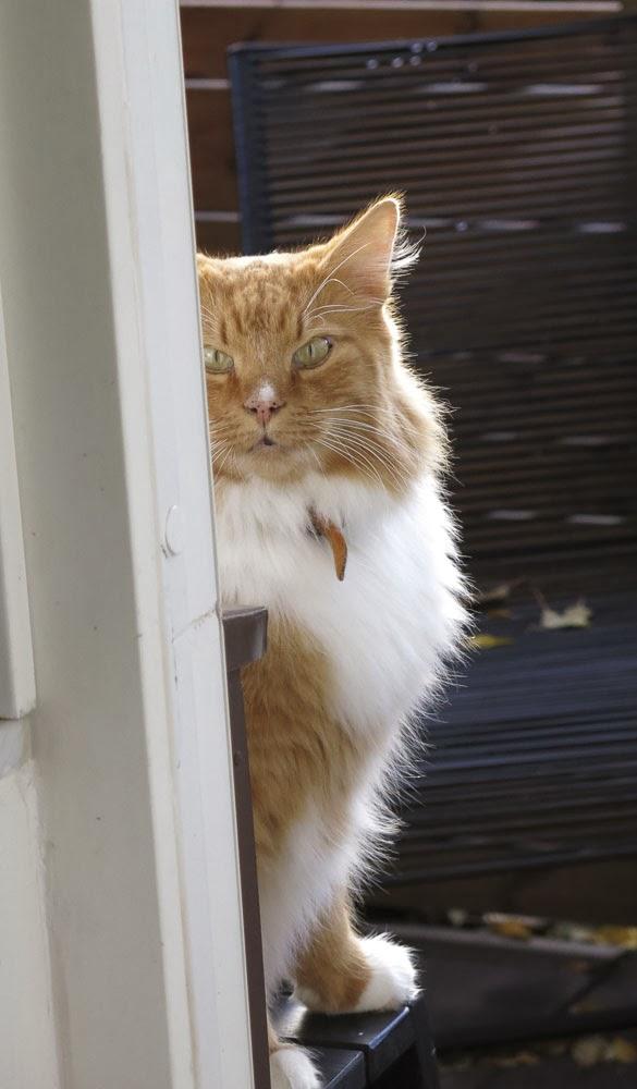 katt, gustav