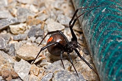 Kırmızı Sırtlı Örümcek