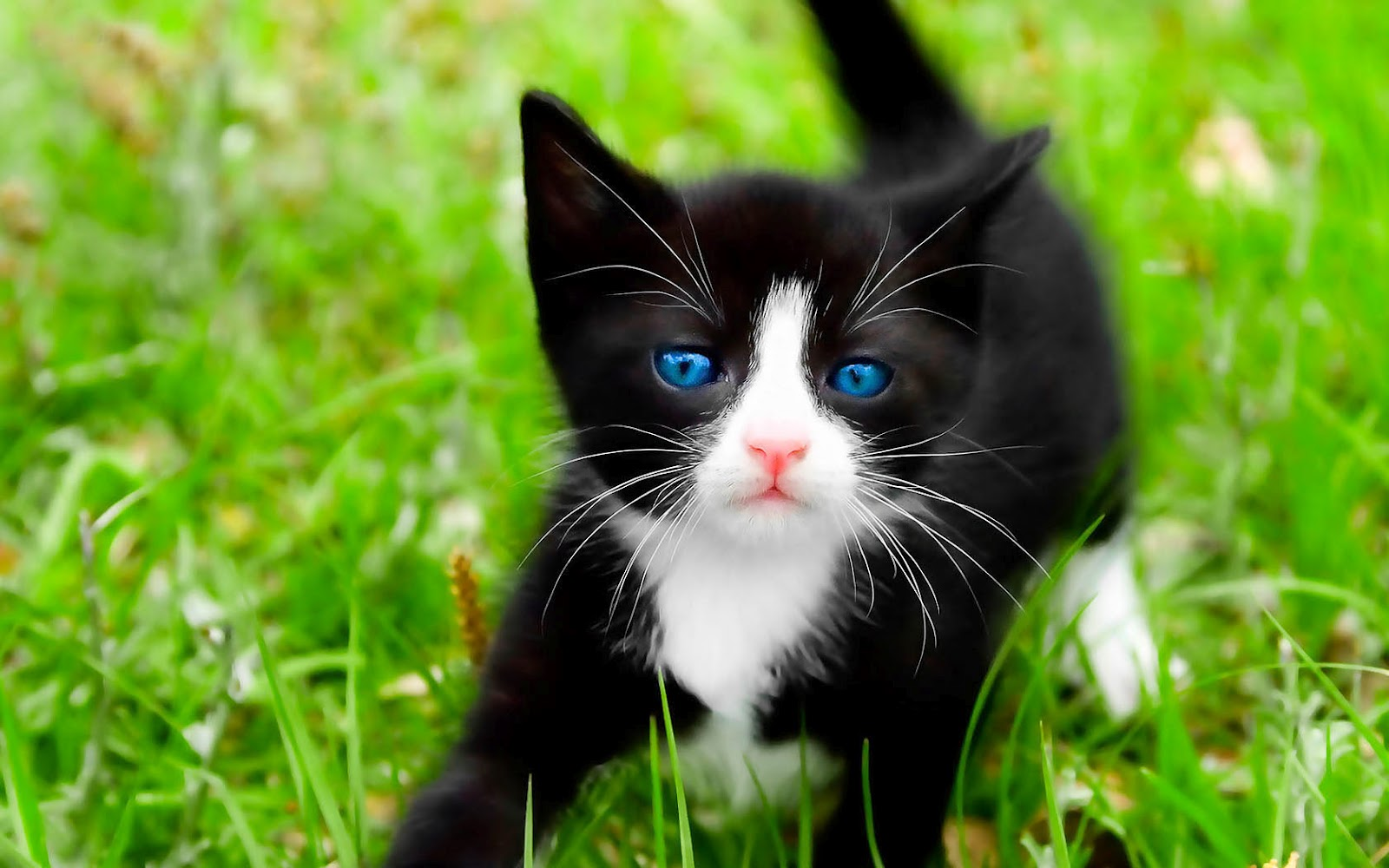 http://1.bp.blogspot.com/-sLHCraUF2MY/UDfxzyz2gAI/AAAAAAAABDM/88Teu9nrd54/s1600/hd-cat-wallpaper-with-a-black-cat-on-the-grass-hd-cats-wallpapers-backgrounds-pictures-photos.jpg