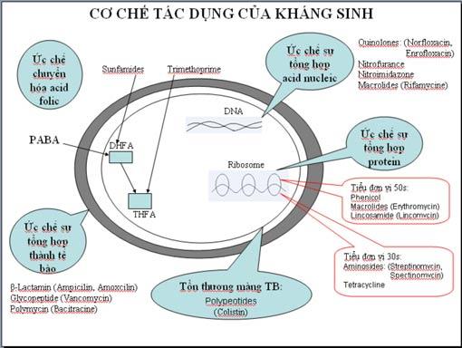 Hình mô tả cơ chế tác dụng của kháng sinh