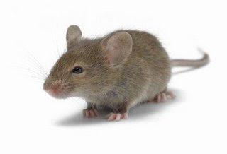 AWAS !!  Bahaya virus kencing tikus