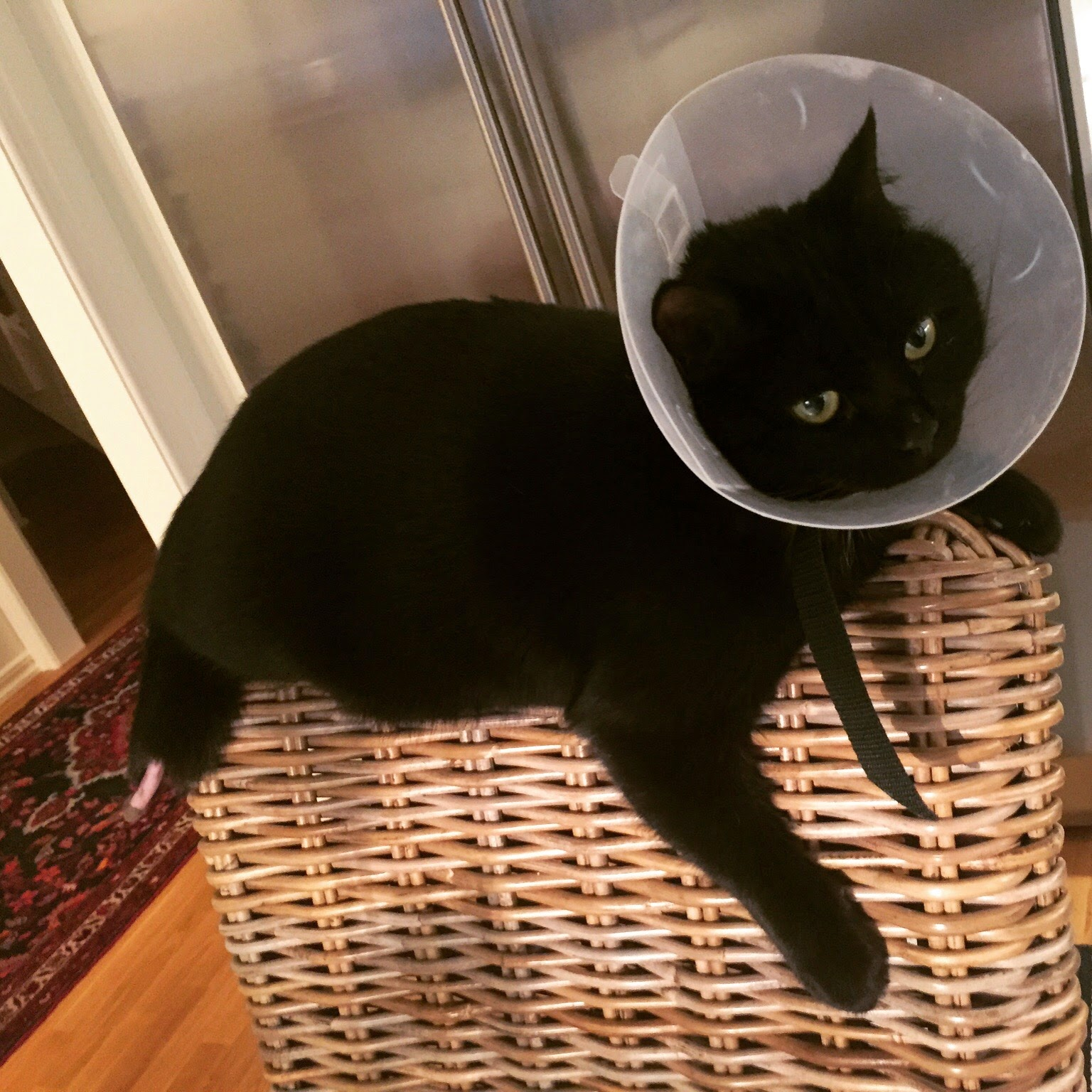 katt skadad svans