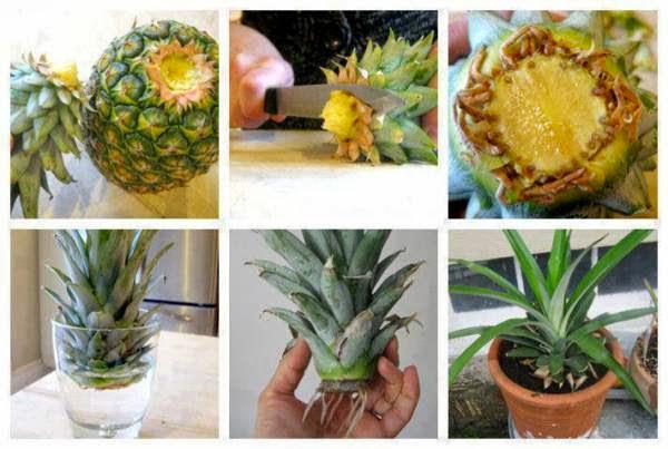 Как сажают ананас