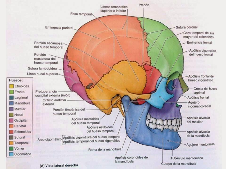 Increíble Anatomía Posterior Del Cráneo Motivo - Anatomía de Las ...