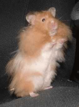 Hamsters (100%): Raças de Hamster e Doenças.