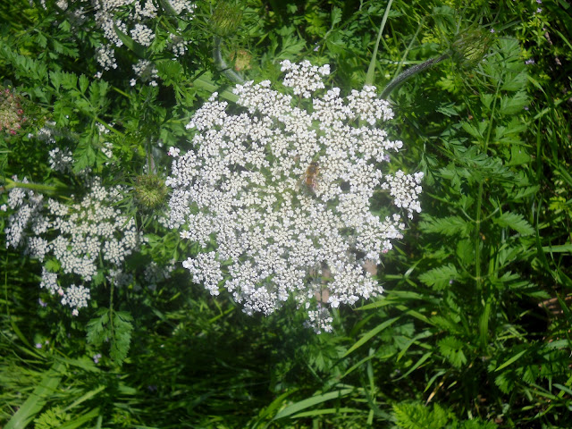 Queen Anne's Lace wildflower at White Rock Lake, Dallas, Texas