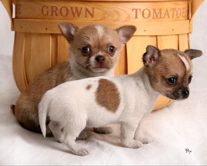 Breed Chihuahua Puppies