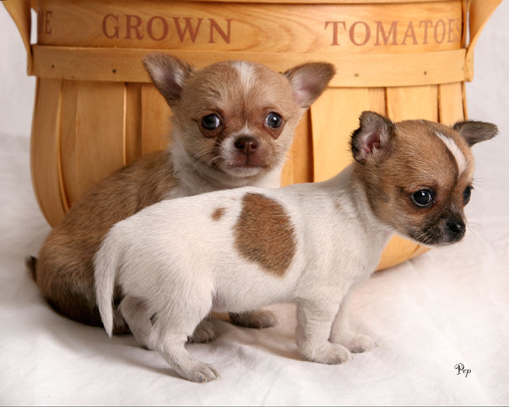 Chihuahua Breed Types Chihuahua puppy and dog breed