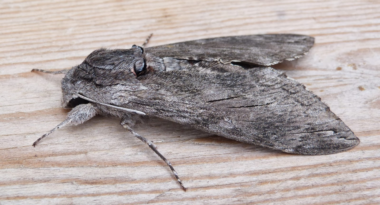 moth Agrius convolvuli (below) first time I?ve seen this hawk moth