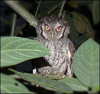 screech owl on branch in costa rica