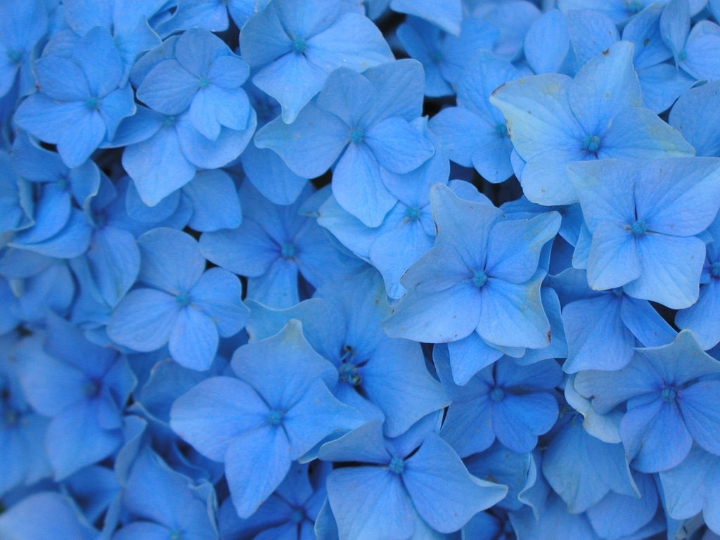 Flowers Wallpapers: Blue Flowers Wallpapers Light Blue Flower Wallpaper