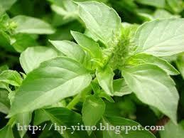 manfaat dan khasiat daun kemangi bagi kesehatan