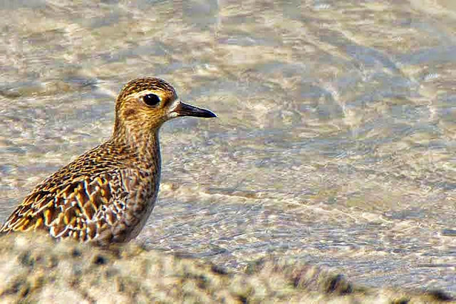 bird,Pacific Golden Plover, Pluvialis fulva