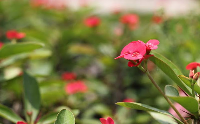 Crown of Thorns Flowers Pictures
