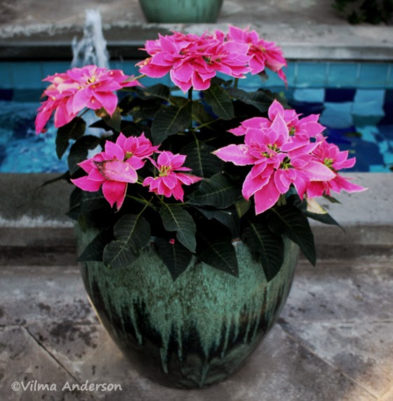 Pink Poinsettia planter at the US Botanic Garden in DC