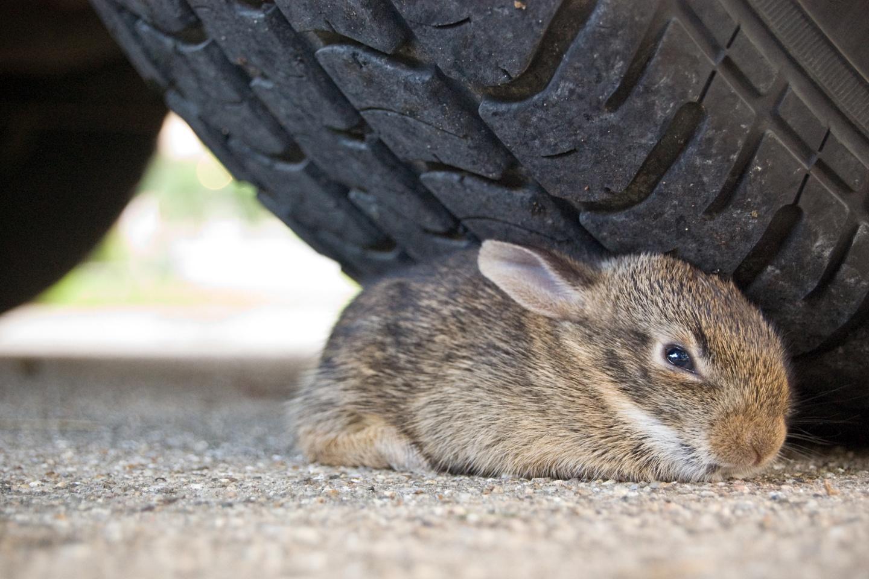 død kanin