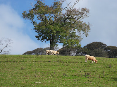 Cows and fields near River Fowey