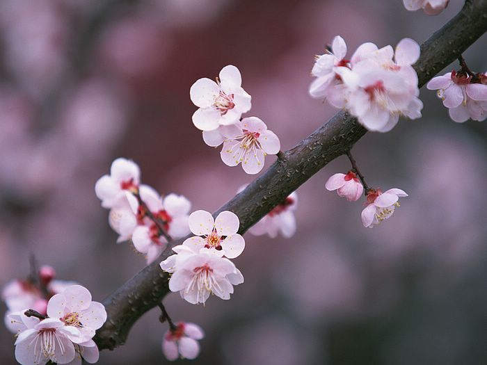 cherry blossom japanese art. cherry tree lossom japan.