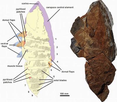 Aegirocassis skeleton