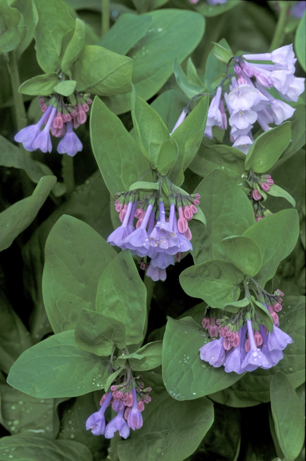 Kentucky Native Plant and Wildlife Plant of the Week Virginia