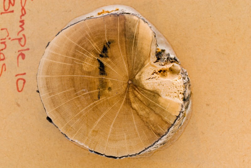 Discs cut from just above the shrubs' root collar were studied to determine growth. (Credit: Photo by David Hollander) Click to enlarge.