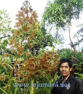 nama lokal anggrek gramatophyllum