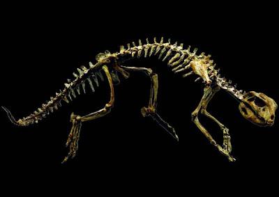 esqueleto de Adamantinasuchus