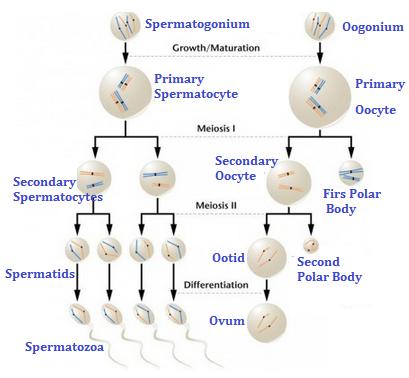 Perbedaan spermatogenesis dan oogenesis artikelsiana perbedaan spermatogenesis dan oogenesis ccuart Image collections