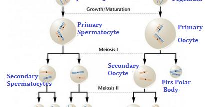 Perbedaan spermatogenesis dan oogenesis artikelsiana ccuart Image collections