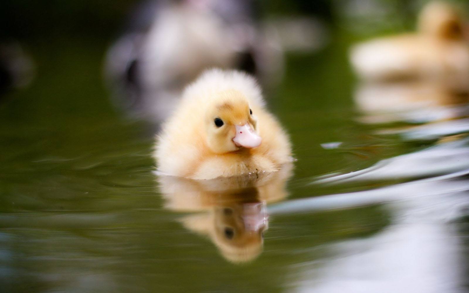 Wallpapers duckling wallpapers for Adorable wallpapers
