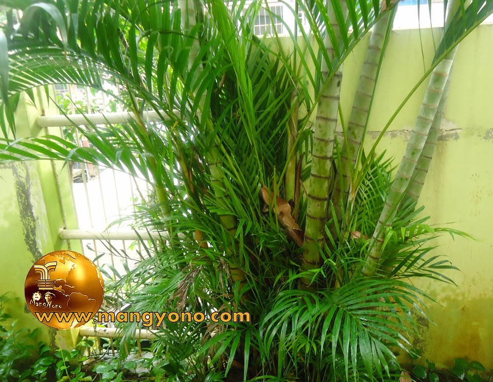 Palem kuning (Chrysalidocarpus lutescens syn. Dypsis lutescens)