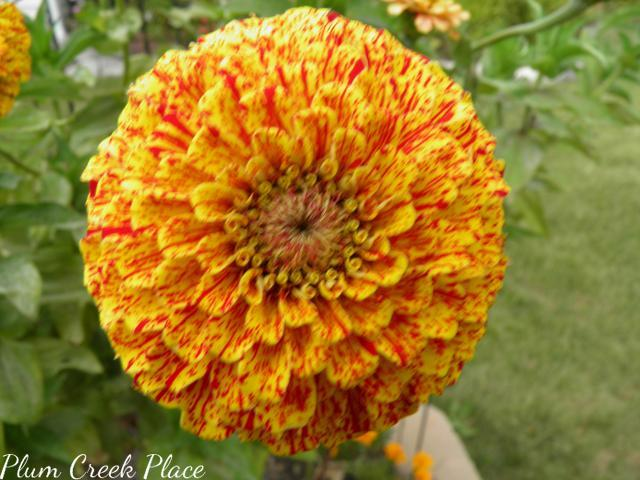 candy stripe zinnia