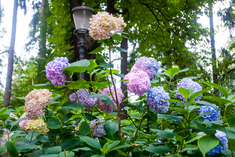 purple pink and blue hydrangeas in ljubljana, slovenia
