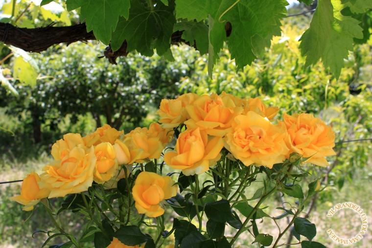 jardim rosas amarelas : jardim rosas amarelas:flores do jardim da dona Josefa: um bouquet de rosas amarelas