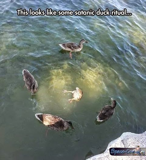 funny duck ritual picture