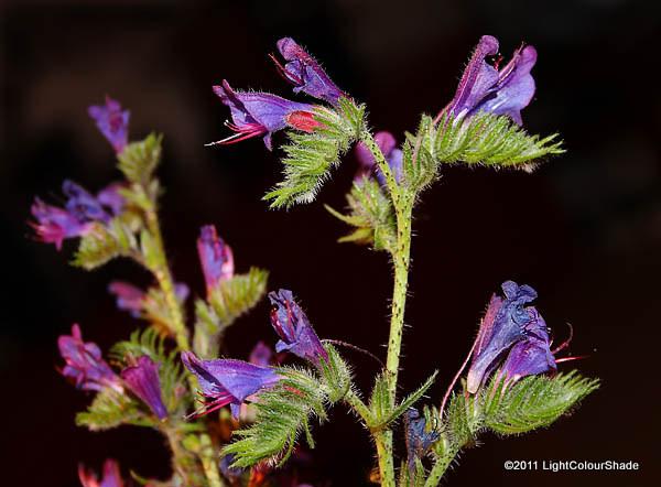Echium plantagineum, Purple Viper Bugloss