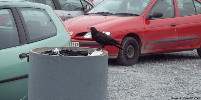 Raven rebuscando en la basura