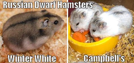 Left: Winter White Russian dwarf hamster, Right: 2 Campbell's Russian hamsters