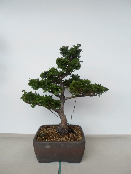 chamaecyparis bonsai