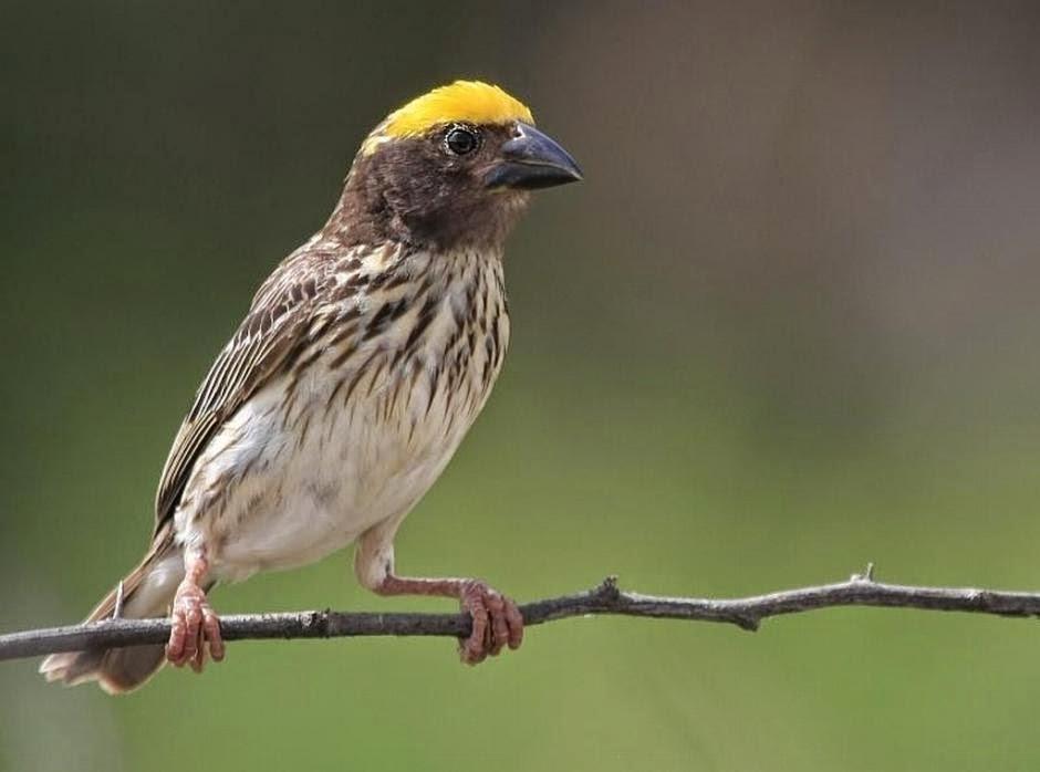 Cara Merawat Burung Manyar Agar Cepat Gacor atau Bunyi
