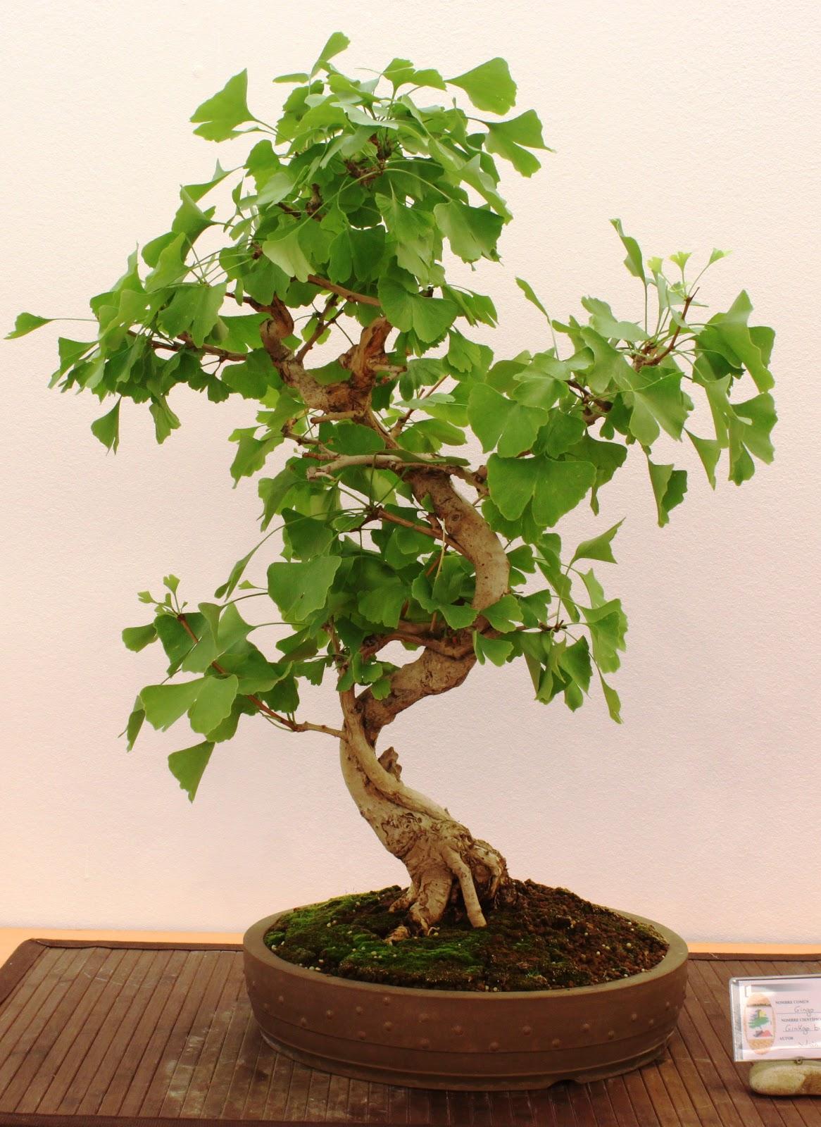 bonsai tree 18 beautiful ginkgo biloba bonsai inspirations. Black Bedroom Furniture Sets. Home Design Ideas