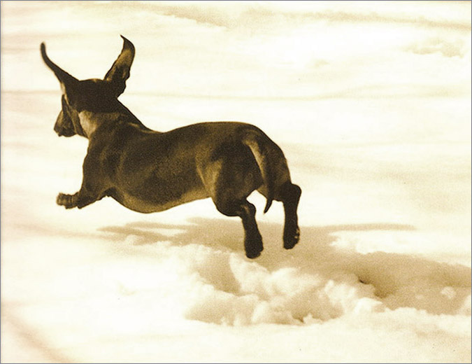 Notes from the Pack - a dog blog. A Flying Dachshund.