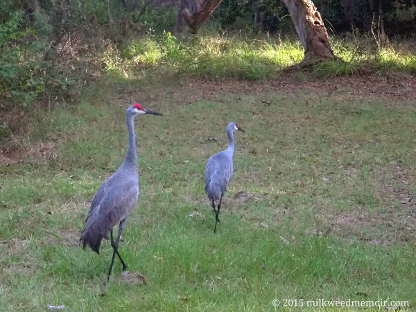 Two sandhill cranes wander along the grass of Lake Delancy East Campground in Ocala National Forest, Florida