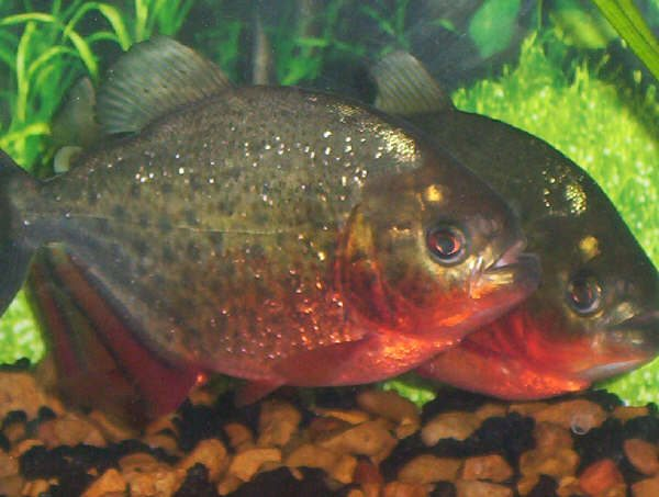 Piranha fish amazing piranha facts images information for Pictures of piranha fish