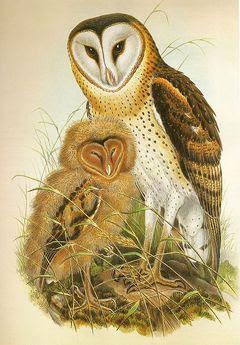 lechuza del cabo Tyto capensis
