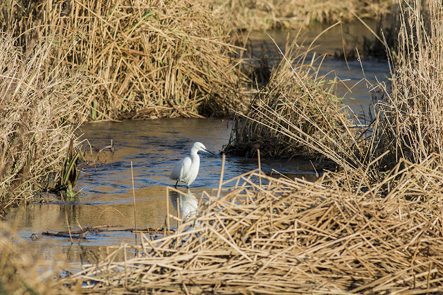 Little Egret hunting along the River Ouse, Milton Keynes