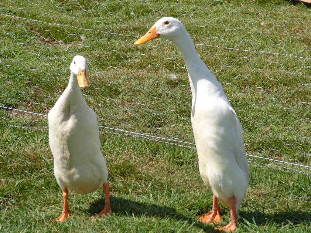 about duck in hindi Hatric duck-read all the latest news headlines & breaking news on hatric duck in hindi on haribhoomicom.