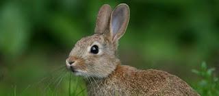 Hare fried in breadcrumbs